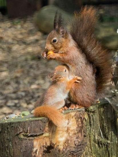 Photo d'un petit écureuil roux qui tète sa mère